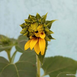 partially bloomed sunflower